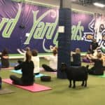 Goat Yoga at Hartford Yard Goats