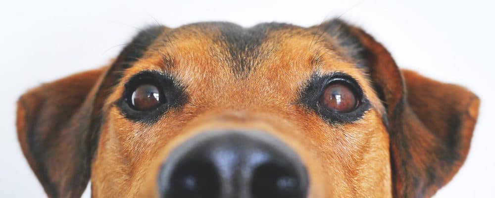 Close up of a mixed breed dog with brown, soulful eyes
